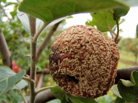 Æble med angreb af Gloeosporium